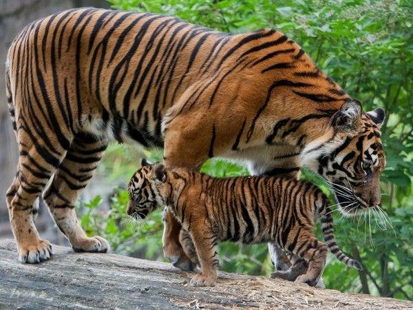 Тигрица с тигрятами 7